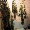 Συνελήφθη 50χρονος για καλλιέργεια δενδρυλλίων κάνναβης στη Σαλαμίνα