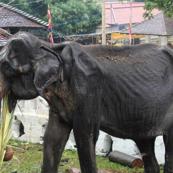 Ξεσηκωμός στο facebook για τον υποσιτισμένο ελέφαντα σε Φεστιβάλ στη Σρι Λάνκα