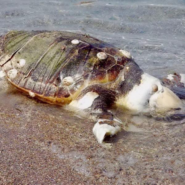 Nεκρές δύο χελώνες Καρέτα-Καρέτα στη Σαλαμίνα